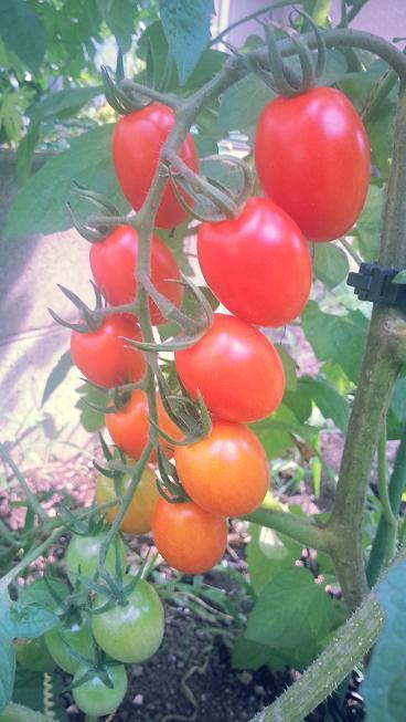 鈴なりトマトグラデーション2.jpgのサムネール画像