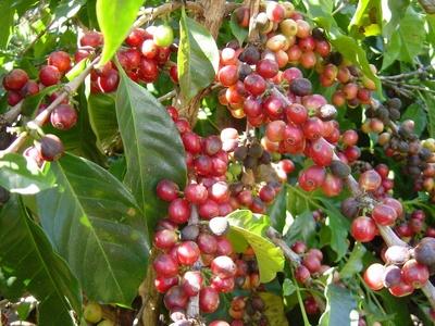 グァテマラ(コーヒーの木2).jpgのサムネール画像