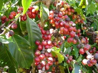 グァテマラ(コーヒーの木2).jpgのサムネール画像のサムネール画像のサムネール画像のサムネール画像